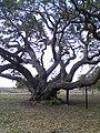 1,000 Year Old Live Oak Tree - Texas Gulf Coast - panoramio.jpg