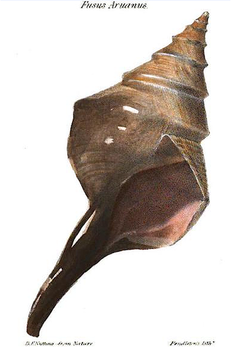 Boston Society of Natural History - Plate from the Boston Journal of Natural History, 1837 shows the shell of Syrinx aruanus. Drawn by Benjamin F. Nutting, printed by Pendleton's Lithography
