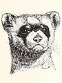 1972 art by Carol Snow - Black-footed Ferret, Mustela nigripes (IA blackfootedferre44snow) (page 1 crop).jpg