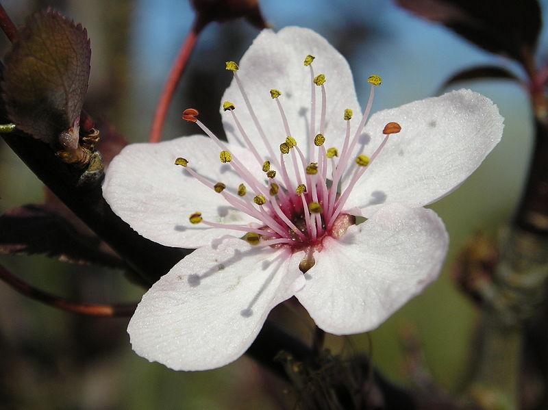 fleur prunier miroblolan