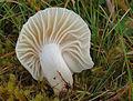2007-10-20 Cuphophyllus virgineus 2.jpg