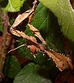 2012-09-03 16-30-17-Extatosoma tiaratum.jpg