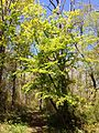 2013-05-05 13 37 57 Escaped Acer palmatum along the Long Path in Palisades Interstate Park.jpg