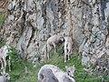20130703 56 Baby Mountain Goats (12356023934).jpg