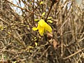 2016-03-11 12 27 06 Forsythia blossom along Tranquility Court in the Franklin Farm section of Oak Hill, Fairfax County, Virginia.jpg