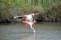 20170425 146 Camargue Flamingo (34422711356).jpg