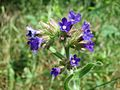 20170605Anchusa officinalis2.jpg