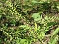 20170917Ambrosia artemisiifolia4.jpg