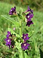 20171014Anchusa officinalis4.jpg