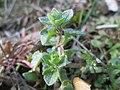 20190308Veronica hederifolia3.jpg