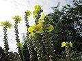 20191022Verbascum thapsus2.jpg
