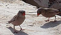 2Trumpeter Finches