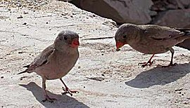 2Trumpeter Finches.jpg