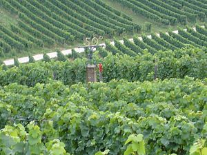 Geisenheim - 50th parallel north, in the middle of the vineyard