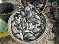 5702Gloria Fish Blackchin tilapia Sarotherodon melanotheron Bulacan.jpg