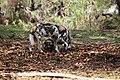 AFRICAN WILD DOG (13946393471).jpg