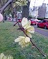 AZ0114 Ulmus x hollandica. Hermitage Place, Edinburgh. (02).jpg
