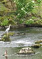 A Heron and a Duck on Afon Rhythallt - geograph.org.uk - 227621.jpg