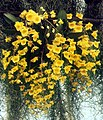 A and B Larsen orchids - Dendrobium aggregatum 739-21zw.jpg
