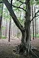 A beech tree at edge of a pine plantation at Theydon Mount Essex England.jpg