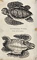 A loggerhead turtle seen from above and below. Etching by He Wellcome V0021243.jpg