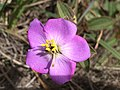 A magnificent flower captured at Horton Plains National Park.jpg