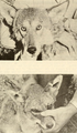 A survey of the red wolf (Canis rufus) 1972 fig. 3.png