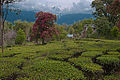 A tea plantation, sights, scenic nature, and culture Himachal Pradesh India.jpg
