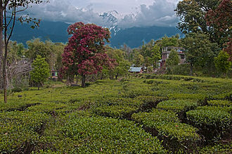 Kangra tea - A tea plantation in Palampur.