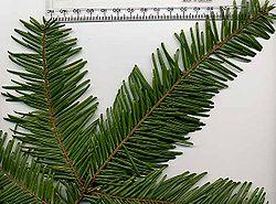 definition of fir