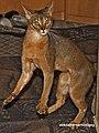 Abyssinian cat (10433565463).jpg
