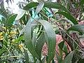Acacia - അക്കേഷ്യ 04.JPG