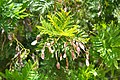 Acacia decurrens Green Wattle, Sydney Wattle ავსტრალიური აკაცია.JPG
