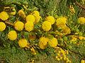 Acacia karroo, blomhofies, Jimmy Aves Park, e.jpg