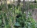 Acanthus mollis-Acanthe molle-Plantes-20210603.jpg