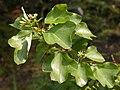 Acer buergerianum Miq. var. formosanum.jpg