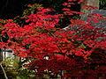 Acer japonicum - Daikakuji,Kyoto 大覚寺のハウチワカエデ DSCF0900.JPG