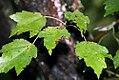 Acer rubrum 27zz.jpg
