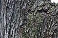 Acer rubrum 33zz.jpg