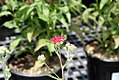 Achillea millefolium Summerwine 1zz.jpg