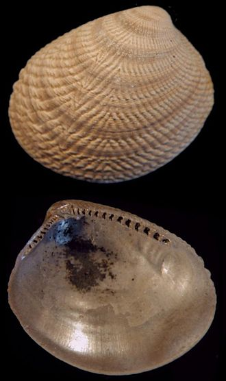 Protobranchia - Two views of a left valve of Acila cobboldiae from the early Pleistocene of the Netherlands