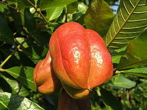 Photo of closed Ackee (Blighia sapida) fruit o...