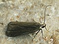 Acompsia cinerella - Ash-coloured sober (39986850105).jpg