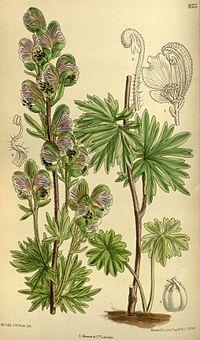 Aconitum rotundifolium 140-8575.jpg