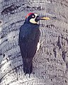 Acorn Woodpecker (26554754841).jpg