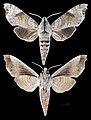 Acosmeryx miskini MHNT CUT 2010 0 139 Wau New Guinea male.jpg