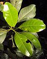 Acronychia pedunculata 13.JPG