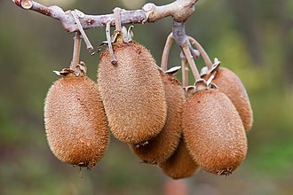 Actinidia chinensis - Fruit of Actinidia chinensis