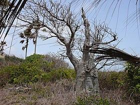 Adansonia digitata 0007.jpg
