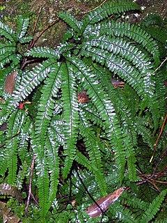 <i>Adiantum hispidulum</i> species of plant